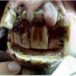 incisors